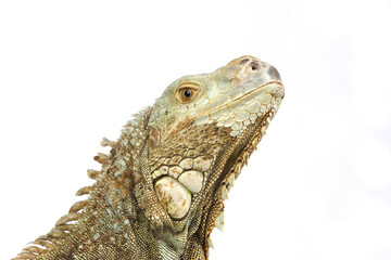 a closeup shot of Pogona vitticeps head
