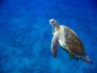 Grüne Meeresshildkröte