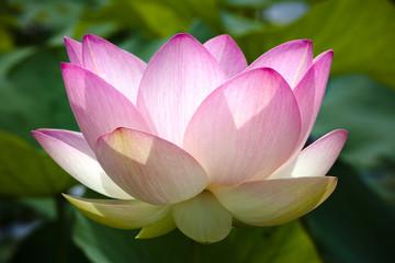 Foto auf Gartenposter Lotosblume fleur de lotus