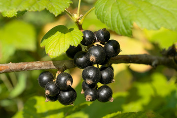 Branch of black currant