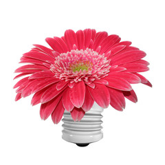 beautiful isolated pink and red gerber flower isolated