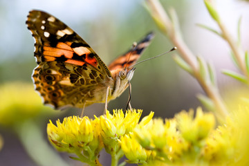 Schmetterling, Distelfalter (Vanessa cardui)
