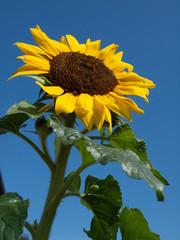 Wall Murals Sunflower Immer wieder schön - die Sonnenblume