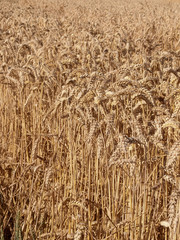 profusion de blé