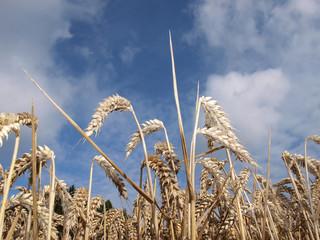 croissance du blé