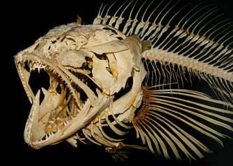 The fish skeleton