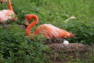 Caribeban Flamingo Nest