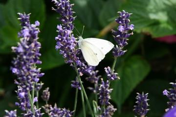 Laventelbüten mit weißen Schmetterling