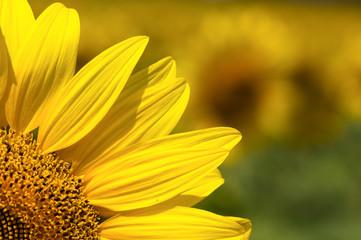 Quarter of the sunflower close up