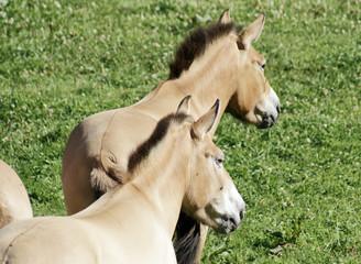 cheval de prjevalski