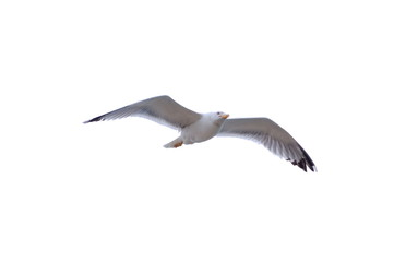 Herring Gull isolated on white