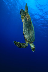 Hawksbill Turtle dives into the sea