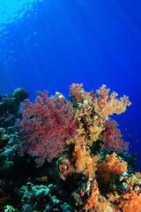 Soft Coral (Dendronephthya)