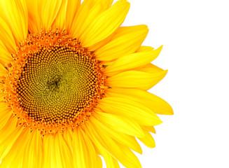 Beautiful yellow sunflower white