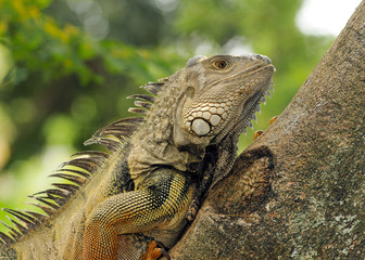 Iguana Climbing