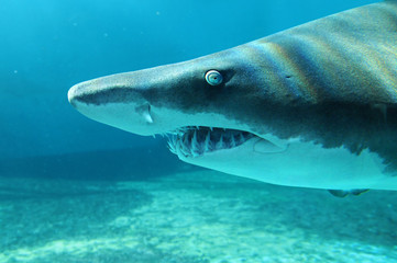 Sand Shark in Close Up View