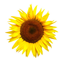 Yellow sunflower isolated