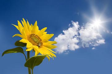 Sunflower against sunny blue sky