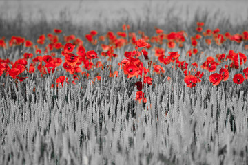 red poppies black white