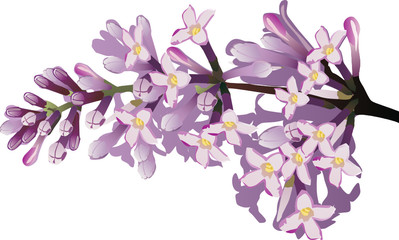 isolated lilac flower branch