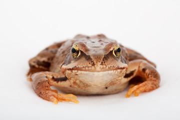 Grasfrosch Frosch Kröte