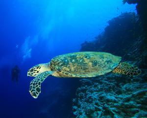 Turtle and Scuba Diver