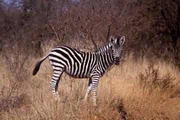 A Zebra (Equus Quagga) foal in the wild