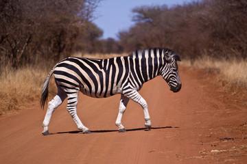A zebra crossing (the road)
