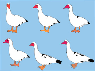 duck collection with background - vector