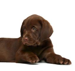 Chocolate puppy Labrador.