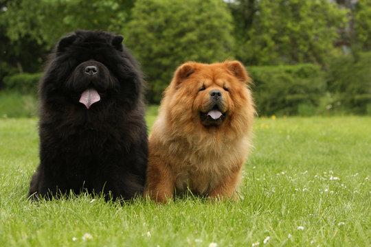 chow-chow rouge et chow-chow noir assis côte à côte-herbe