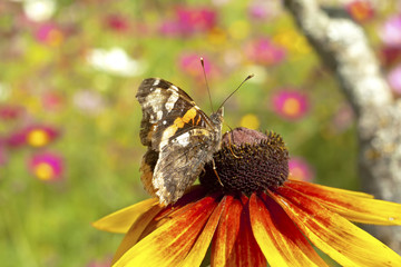 Yellow red chrysanthemum with butterfly