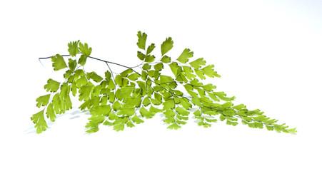 Maidenhair leaves  on white background