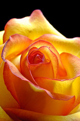 abstract yellow beautiful rose
