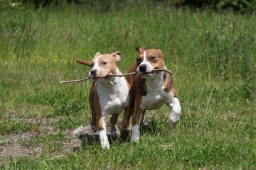 deux american staffordshire terrier jouant avec un baton