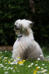 chien nu chinois adulte assis dans un champ de fleurs.profil