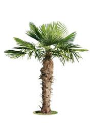 Photo sur Toile Palmier palmier chamaerops excelsa