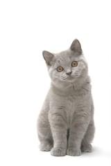 jeune chaton british shorthair gris assis de face en studio