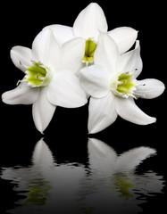 reflets de fleur blanche de lys sur un fond noir