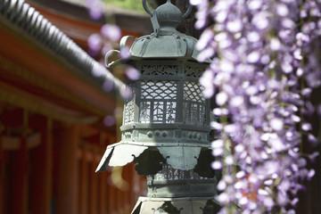 春日大社灯籠とフジの花