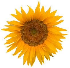 yellow sunflower isolated