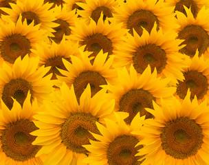 Yellow sunflowers closeup background