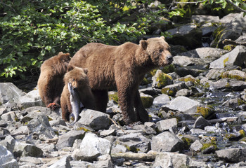 grizzly cub with fish near mother