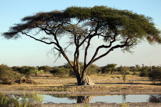 Acacia tree , termite mound and waterhole