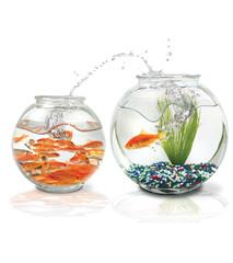 Goldfish jumps