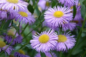 Astern Blüten (aster tataricus)
