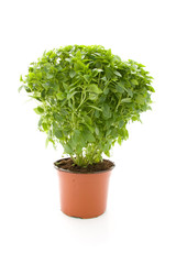 Plant of fine basil on white background
