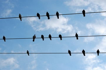 Pigeon birds resting on a wire.