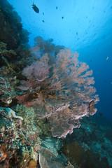Farbenprächtiges Korallenriff mit Gorgonien