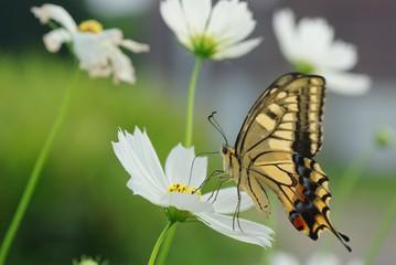 コスモスの花とアゲハチョウ